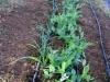 Garlic, Bush Peas, Onions
