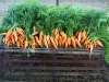 Nantes & Sweet Treat Hybrid Carrots