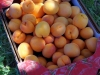 Katy Apricots