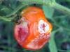 Tomato Damage