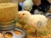 Delaware Chick