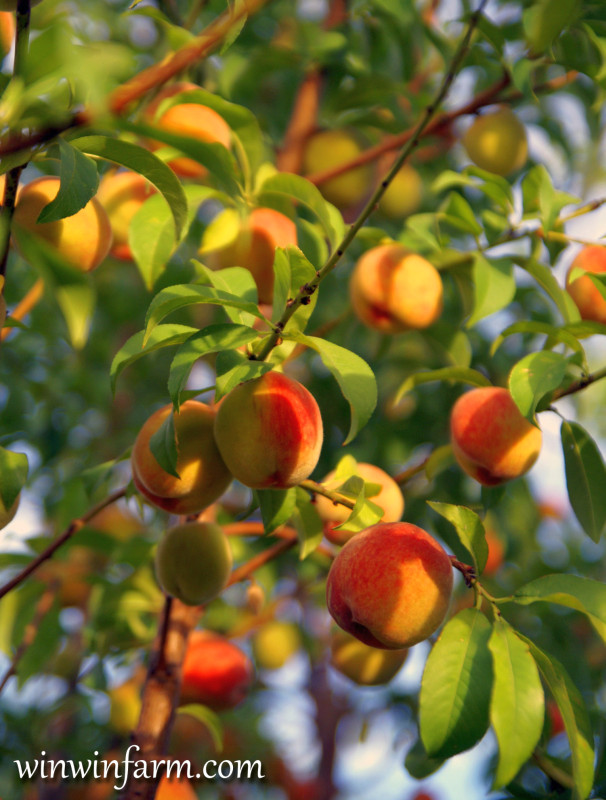 Floridaprince Peaches Santa Rosa Plum Katy Apricot Tree
