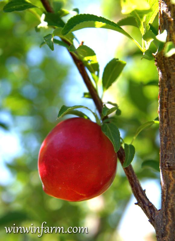Fruit Tree Varieties For Arizona Winwinfarm Com