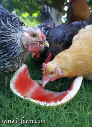 Watermelon Snack