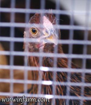 Keeping Chickens Safe From Predators Winwinfarm Com