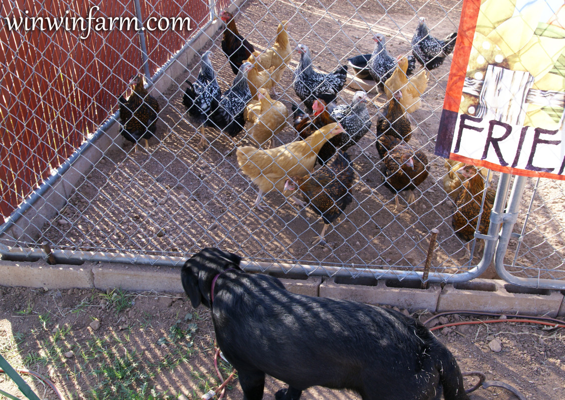 Keeping Chickens Safe From Predators Winwinfarm Com