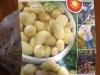 Yukon Gold seeds